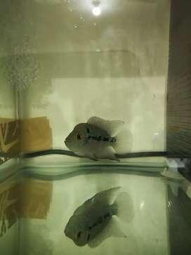 Ikan louhan jenong ikan lohan burayak murah sehat jinak aktif progress