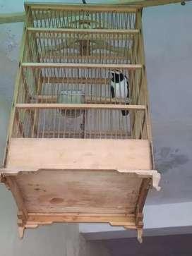 Burung Jalak Surei