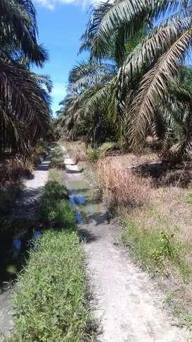 Kebun sawit#Bagio# 38 Ha, SHM,Kandis