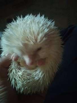 Landak mini.albino