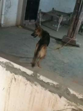 German Shepherd female for sale