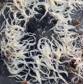 Grintel Worms