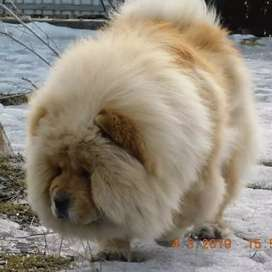 Chow chow pups available for import