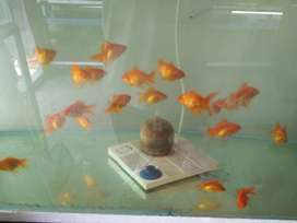 Gold fish, shark, chichlid, tetra and many more