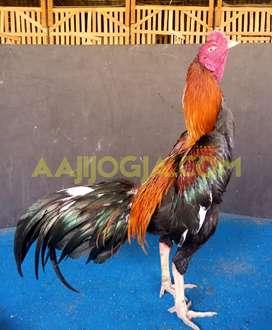 Ayam Petarung Mathai Super Jalu Menitan