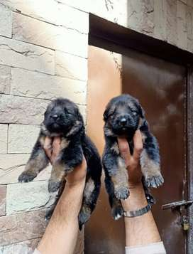 Long cot garman shepherd puppies