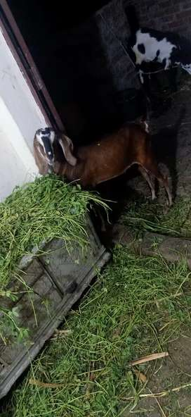 Bakra nagra cross donda ho raha dark brown ready to eid full charo