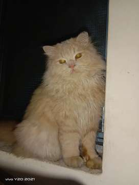 Persian cat for sale 3 cotid