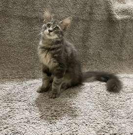 Mainecon / maine coon kitten jantan