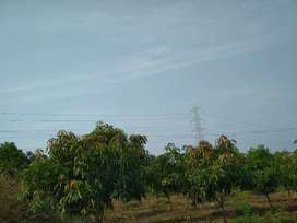 6 acres Mango farm with 1000 kesar grafted trees of 6 years shirur