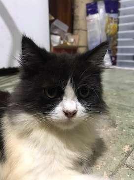 Kucing anggora jantan 5 bln