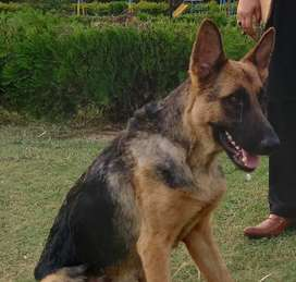 Friendly and Active German Shephard Female Looking New Home