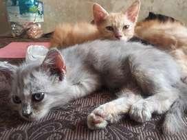 Persian Kitteen 3 months old (cat)