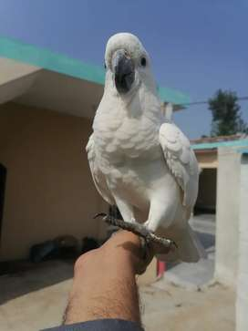 Triton Cockatoo self 7 months age loc Rawalpindi