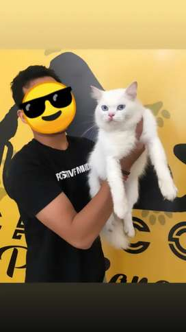 Kucing Persia White Solid