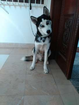 Siberian Husky male almost 6 months old