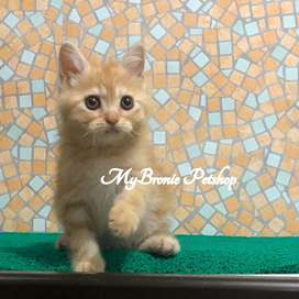 Kucing kitten british shorthair mix breed persia