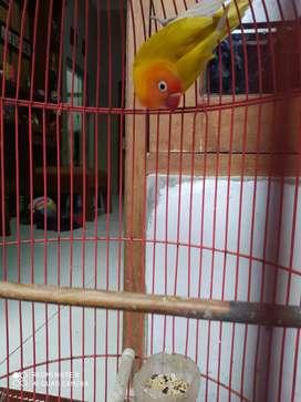 paswing/ love bird/ euwing
