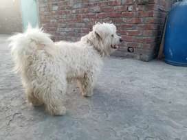 Coton De Tulear male for STUD ONLY CROSSUNG