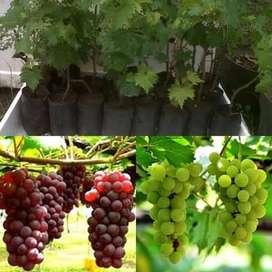 Bibit Anggur Pohon Anggur Tanaman Anggur Buah Anggur