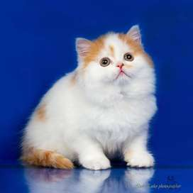 toilet and potty trained persian kitten for sale