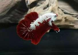 Ikan Cupang red samurai grade