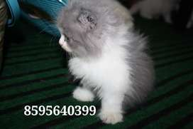 Exotic Furry Persian Kittens and Cats are Available