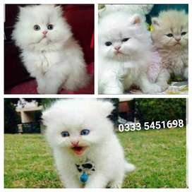 Famillys PeRsian Baby's available