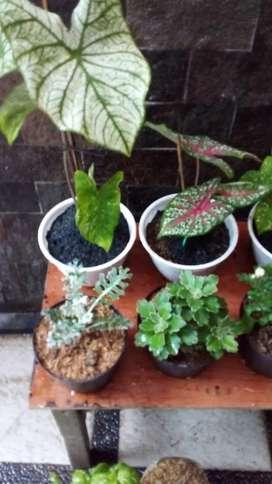 Jual tanaman hias keladi tumpah cat harga murah