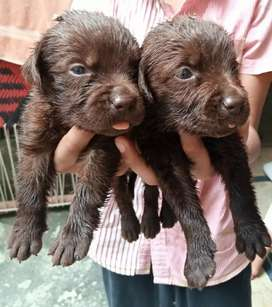 Lab pups available in low rates