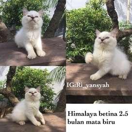 Kucing persia himalaya betina 2.5 bulan mata biru