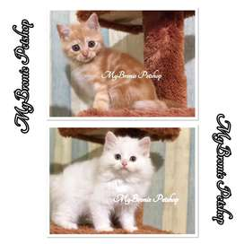 Kucing kitten british shorthair mix breed persia