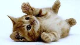 Cari anak kan kucing persia atau anggora betina