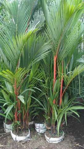 Pohon palem merah