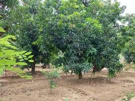Kebun buah mangga super kadipaten majalengka luas 6 hektar