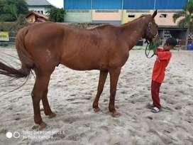 Kuda Tunggang Super Jinak dan Sehat