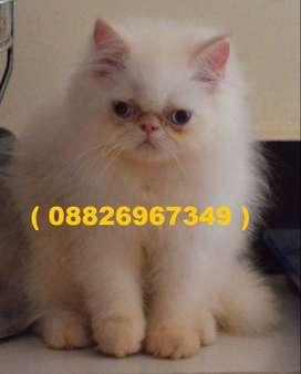 Persian Cats nd Kittens top pure good super super