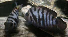 Two cichlid for sale..Rs 100 each