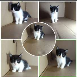 Kucing Munchkin NS/no anggora,bsh,persia,peaknose