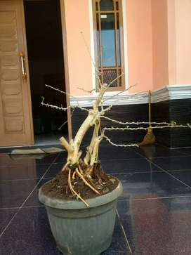 bonsai kaliage small 2