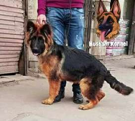 german shehperd Long coated 4 month 6 days Pup available.