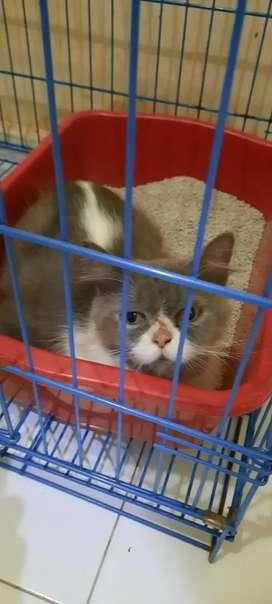 Indukan Kucing Persia Flatnose