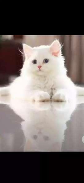 Persian kitten.