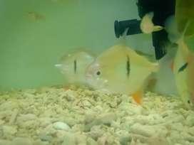 Ikan thin bar fish
