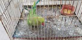 I am selling green parrot