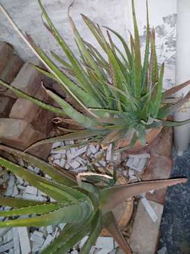 Alovera Plant for sell 100% Pure
