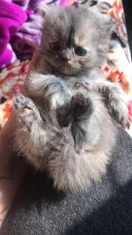 Persian cat babies