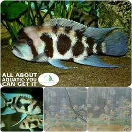 ikan Frontosa black widow untuk aquarium