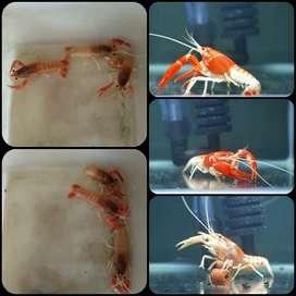 Lobster ghost/ ghost crayfish untuk aquarium aquascape