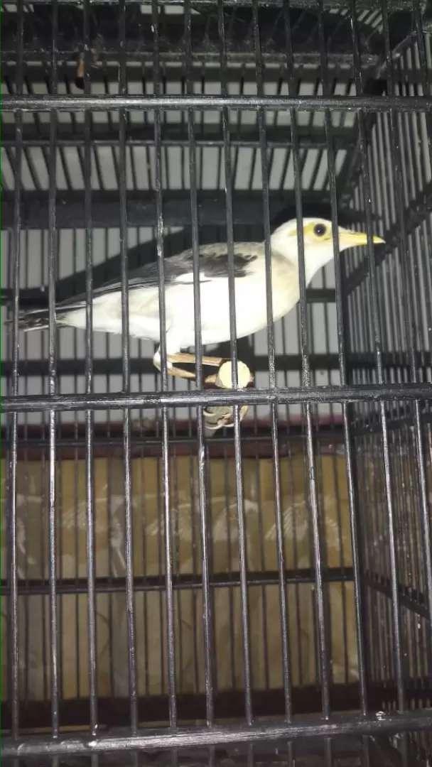 Burung jalak fullset 0